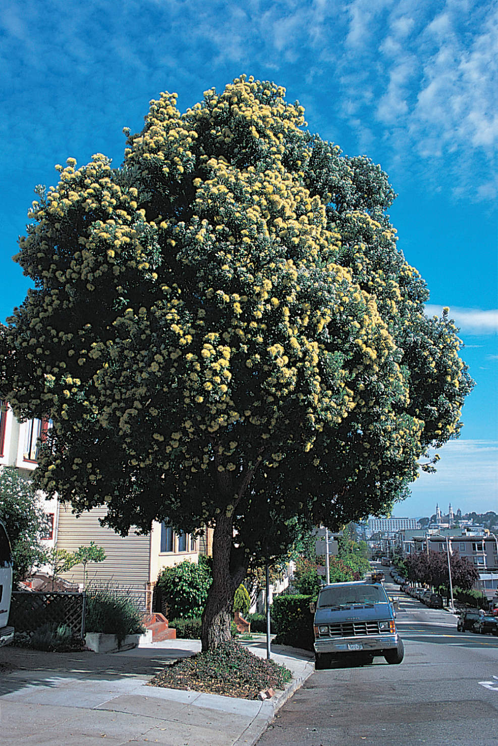 San Francisco street tree